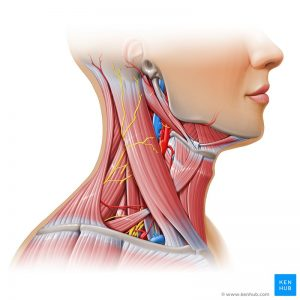 Neck_muscles